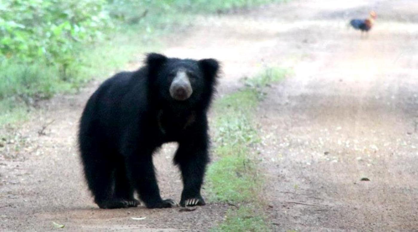 Bear in Wilpattu