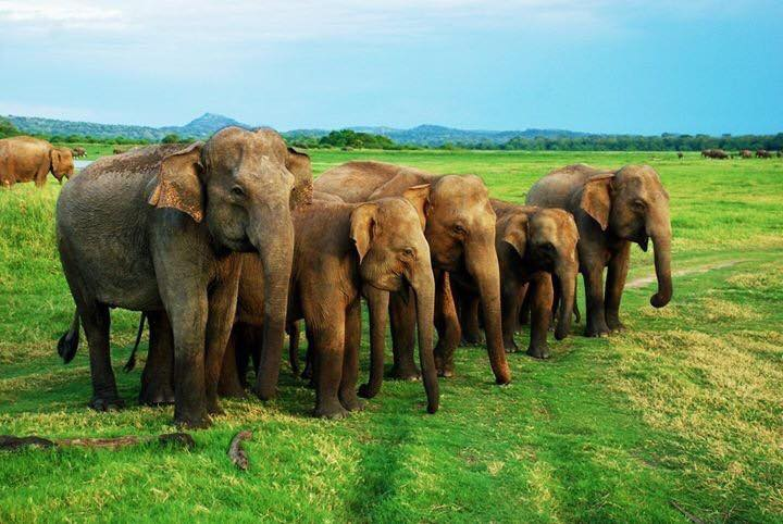 Elephants parading to the water at Minneriya