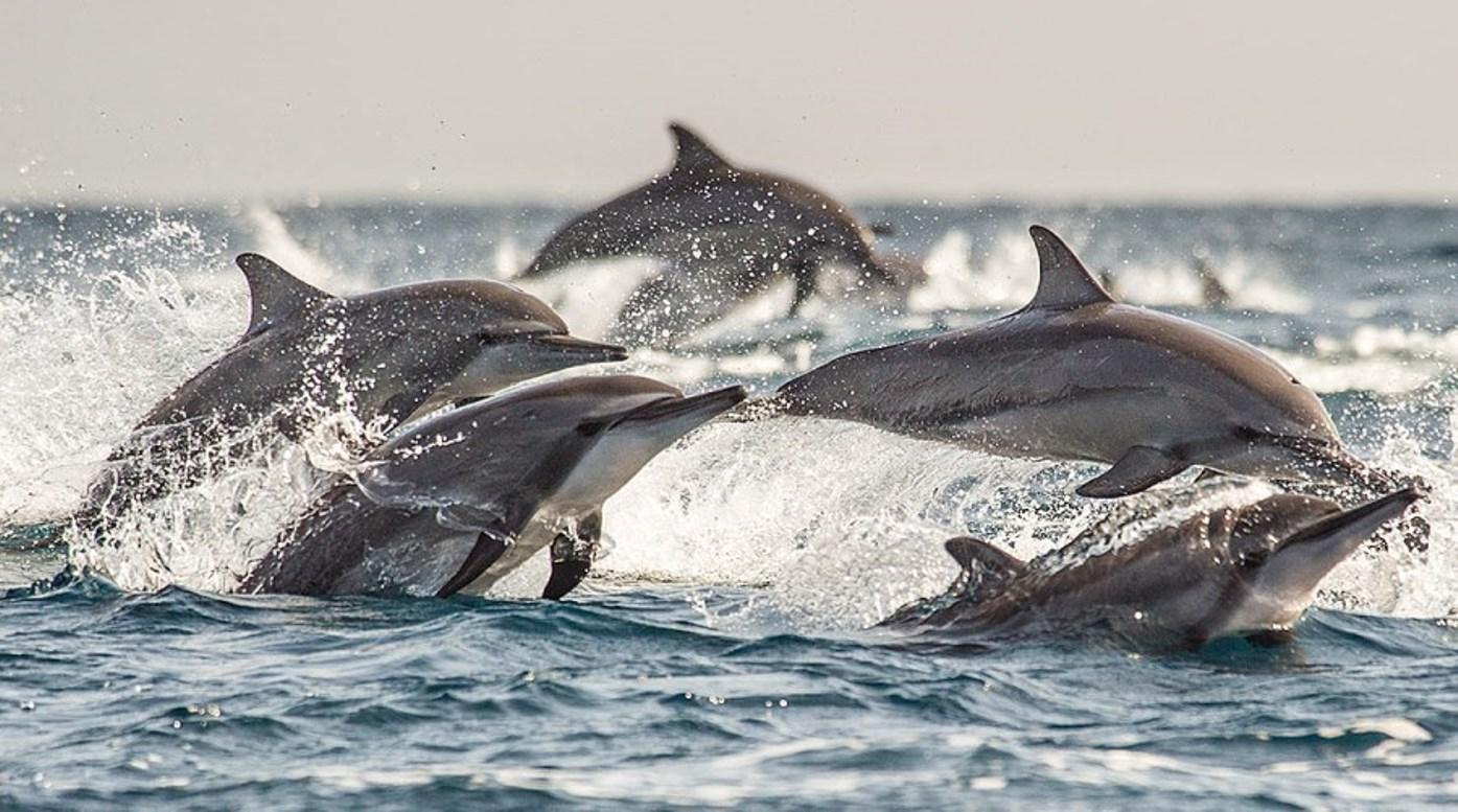 Dolphins porpoising in Kalpitiya