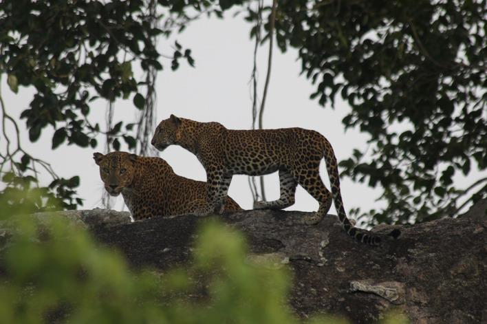 Leopards Couple in Yala