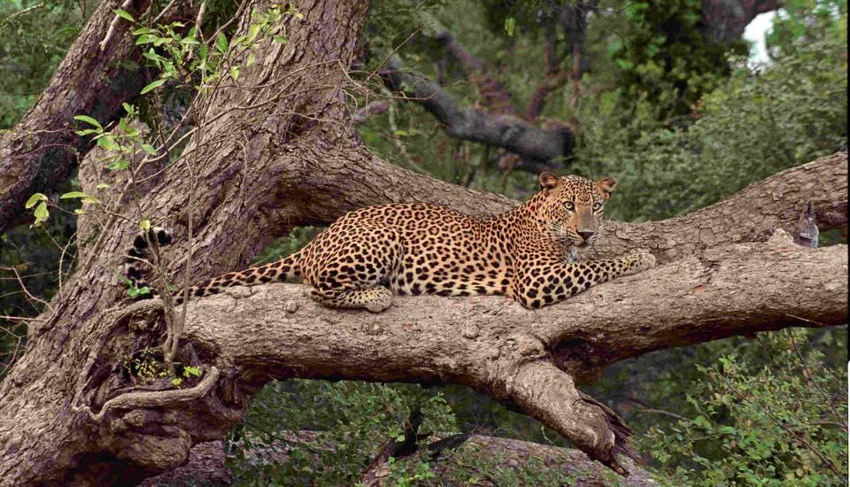 Leopard on tree at Wilpattu