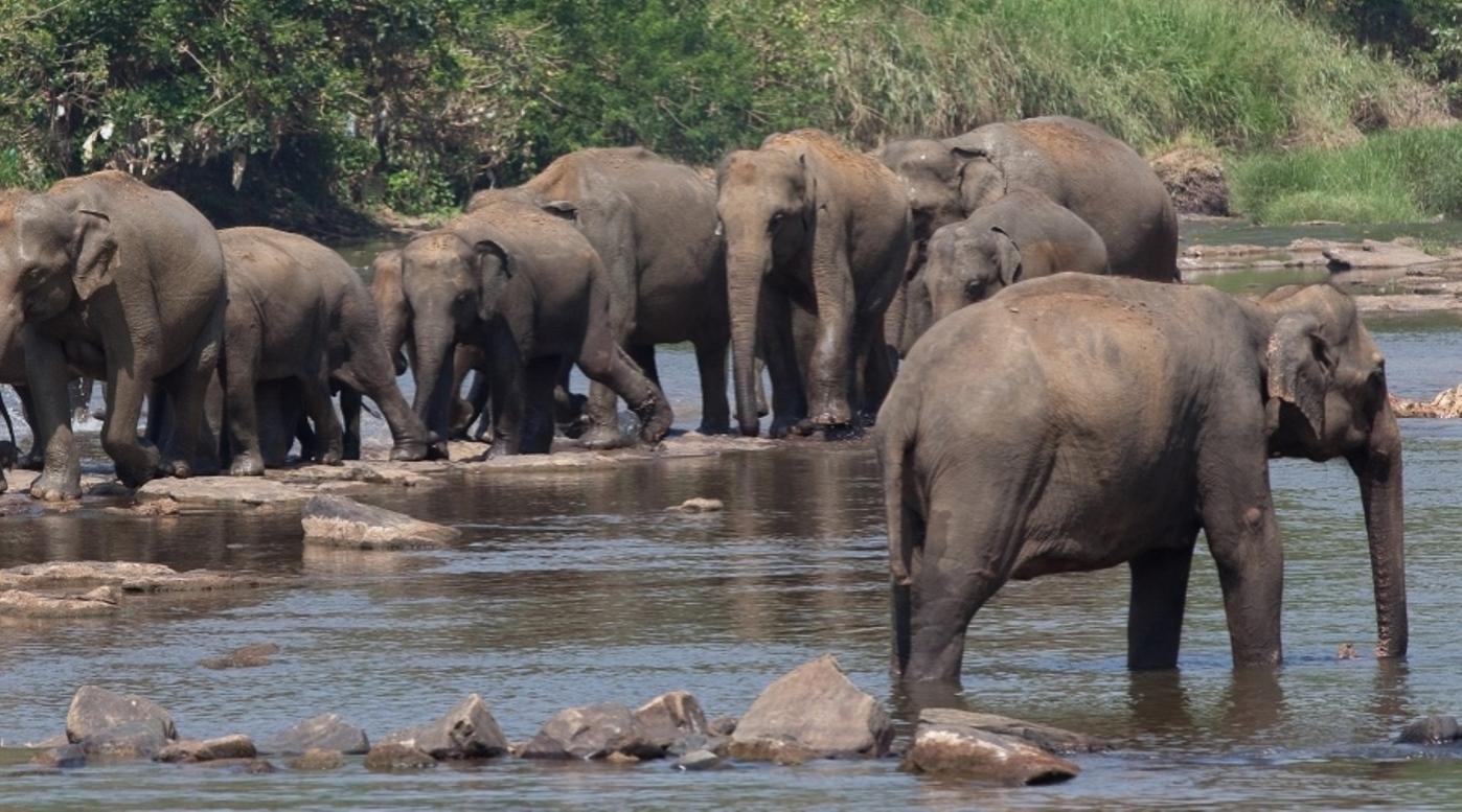 Pinnawela Elephants